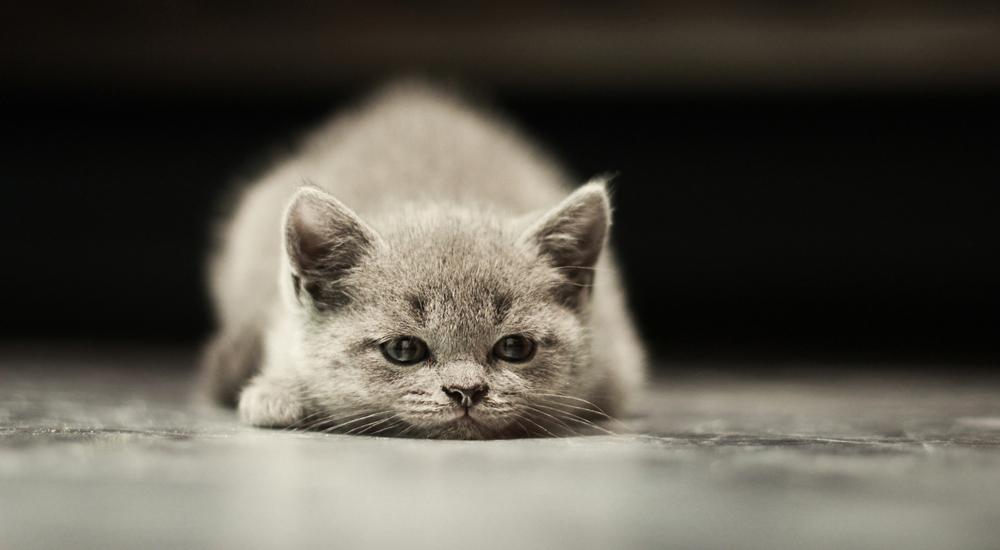 ¿Los gatitos también pueden sufrir diabetes?