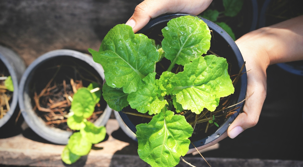 6 vegetales y verduras que puedes cultivar una y otra vez