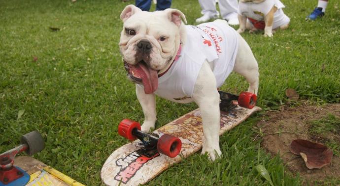 Conoce a Otto, el bulldog peruano que acaba de romper un récord Guinness